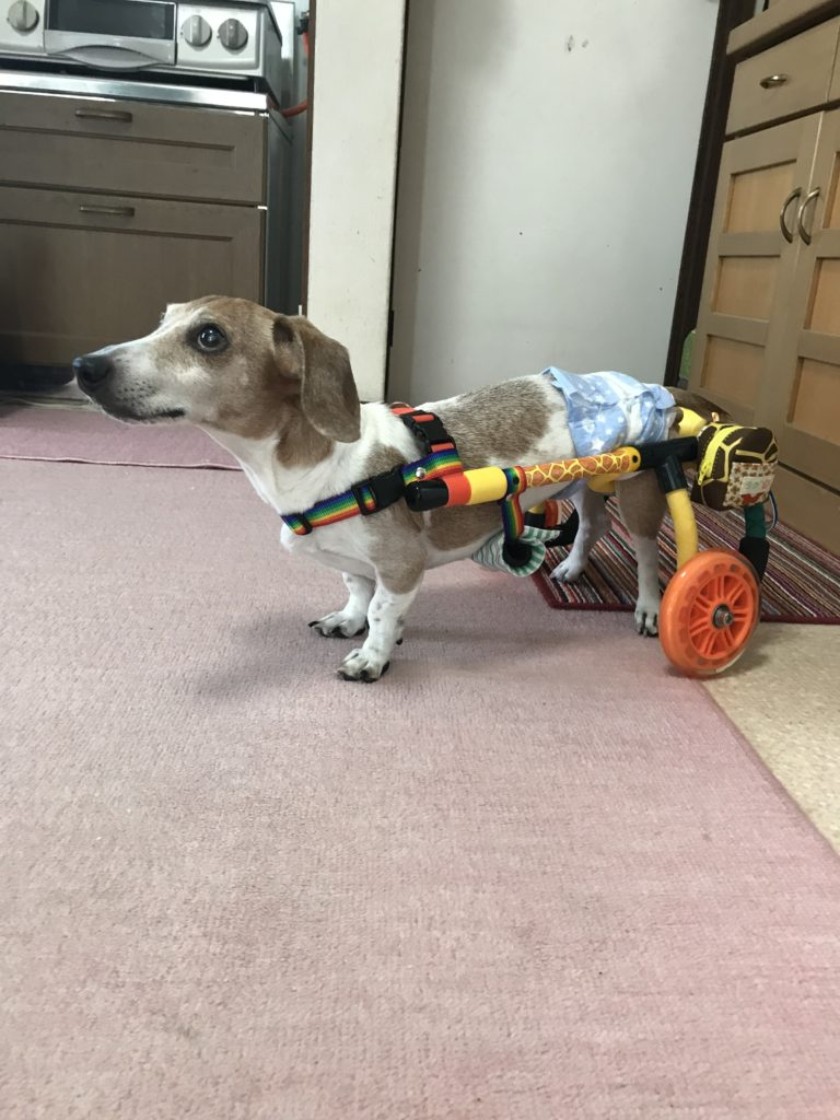 犬用車椅子 ミニチュアダックス