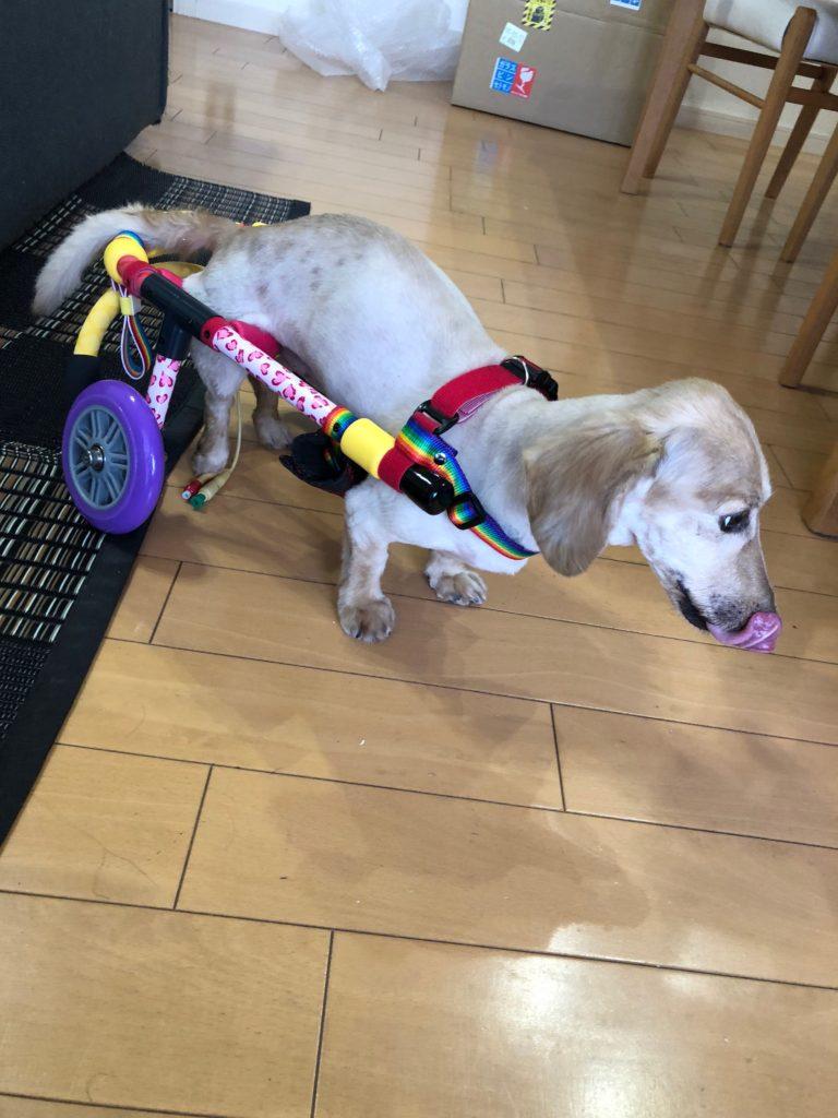 犬の車椅子 ミニチュアダックス
