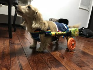 可愛い犬用車椅子