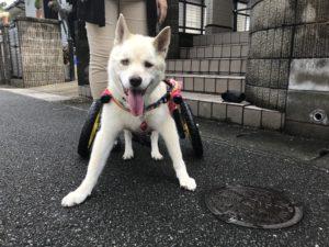 犬の車椅子-グミちゃん