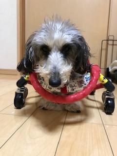 ワイヤーヘアーダックスの車椅子