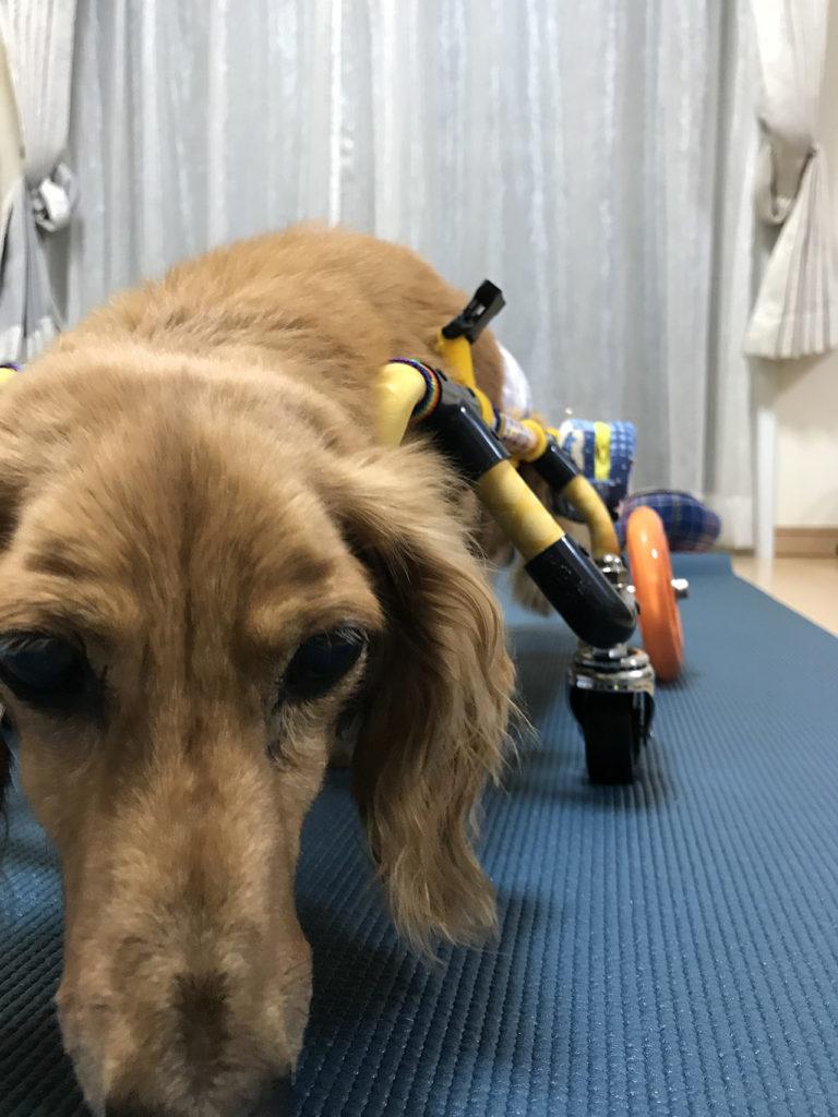 ミニチュアダックス楓透君の犬用車椅子