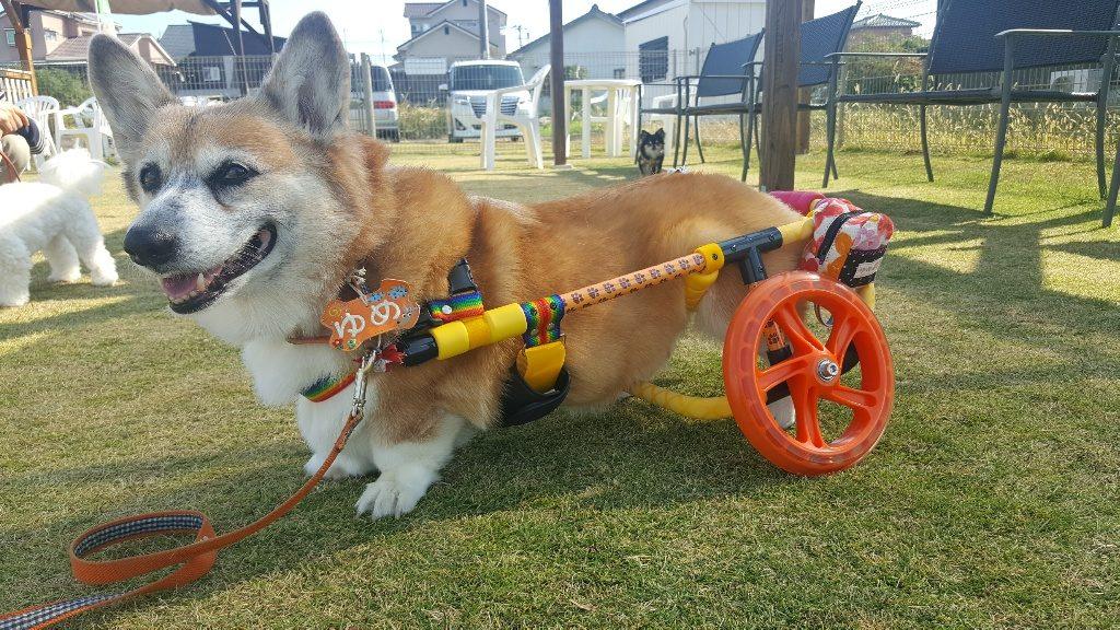 コーギーゆめちゃんの車椅子