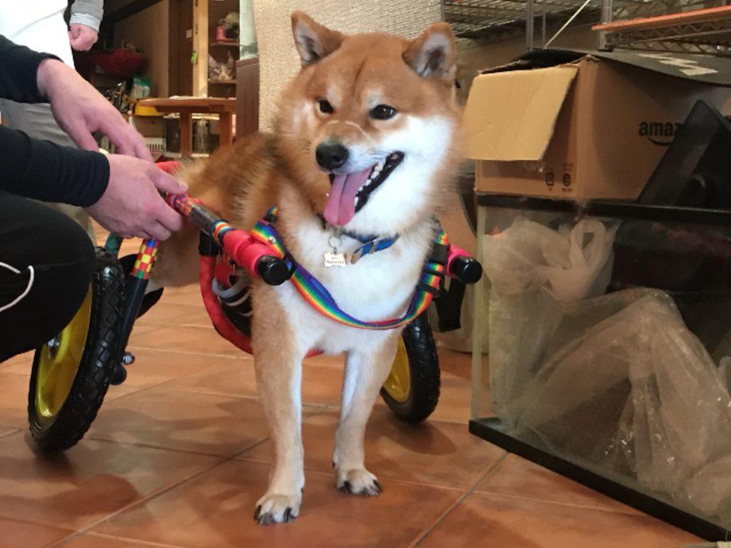 ヤマト君-犬の車椅子