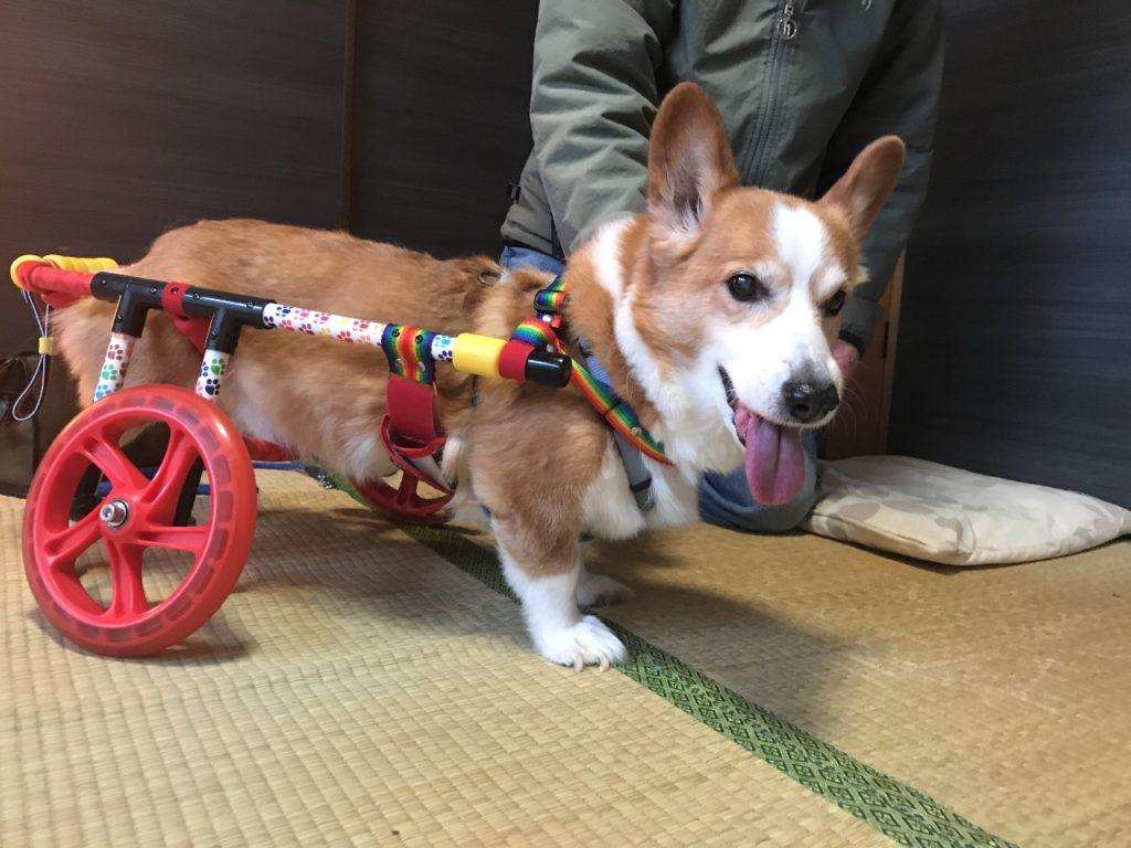 コーギー-車椅子