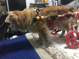 もこちゃん-犬の車椅子