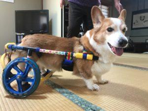 コーギートム君の車椅子
