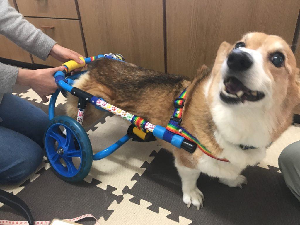 コーギーレオン君-犬の車椅子