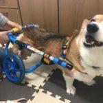 犬の車椅子#46