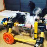 犬の車椅子#47
