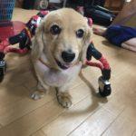 犬の車椅子#51