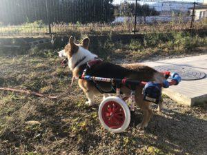 コーギーの車椅子