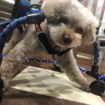 犬の車椅子#55