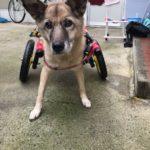 犬の車椅子#57