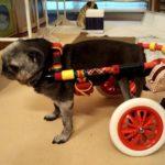 犬の車椅子#56