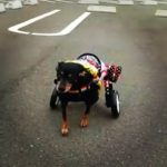 犬の車椅子#58