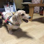 犬の車椅子#60