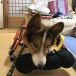 "<span class=""title"">犬の車椅子#62</span>"